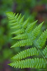 A gently curving fern in Acadia National Park, Maine.