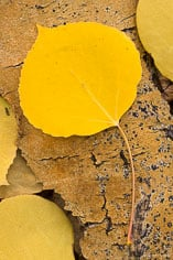 A golden aspen leaf lays on aspen bark along Aspen Ridge outside of Buena Vista, Colorado.