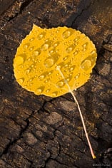 MT-20111005-100000-0074-Colorado-golden-aspen-leaf-bark-water-drops.jpg