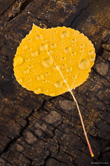 A single golden aspen leaf covered in raindrops lays on a log outside of Buena Vista, Colorado.