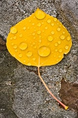 A single golden aspen leaf covered in raindrops lays on a lichen covered rock outside of Buena Vista, Colorado.