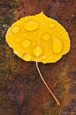 A single golden aspen leaf covered in raindrops lays on a red rock outside of Buena Vista, Colorado.