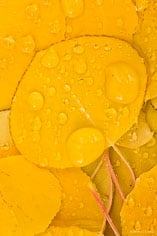 Freshly fallen golden aspen leaves are covered with raindrops along Aspen Ridge outside of Buena Vista, Colorado.