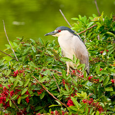 The eye of a black-crowned night heron matchs the berries in the bushes at the Venice Rookery in Venice, Florida.