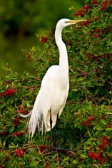 A great egret stands among bright red berries at the Venice Rookery in Venice, Florida.