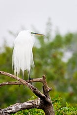 A great egret perched at the Venice Rookery in Venice, Florida.