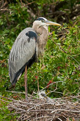 A great blue heron watches over young in the nest at the Venice Rookery in Venice, Florida.