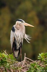 A great blue heron stands motionless at the Venice Rookery in Venice, Florida.