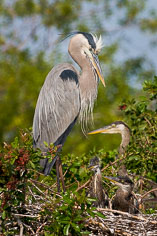A great blue heron and young at the Venice Rookery in Venice, Florida.