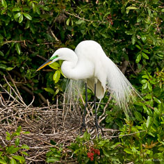 A great egret in mating plumage at the Venice Rookery in Venice, Florida.
