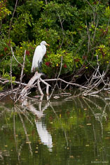 A great egret reflects in the waters of the Venice Rookery in Venice, Florida.