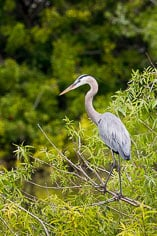 A great blue heron watches over the water at the Venice Rookery in Venice, Florida.