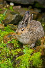 A young rabbit sits motionless in the rocks around Lake O'Hara in Yoho National Park, British Columbia, Canada.