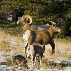 A bighorn sheep ram, ewe, and lamb feed on a snowy mountainside outside of Bunea Vista, Colorado.