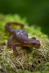 A salamander crawls through the lush greenery on the side of the trail in SIlver Falls State Park, Oreegon.