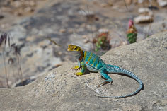 A brightly colored collared lizard basks in the sunshine at Mesa Verde National Park in southwest Colorado.