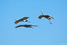 A group of sandhill cranes coming in to land at the Monte Vista National Wildlife Refuge in southern Colorado.