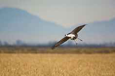 A sandhill crane prepares to land in a field outside of the Monte Vista National Wildlife Refuge in southern Colorado.