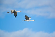 A pair of sandhill cranes in flight at the Monte Vista National Wildlife Refuge in southern Colorado.