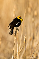 A yellow-headed blackbird watches from the side of a marsh at the Monte Vista National Wildlife Refuge in southern Colorado.