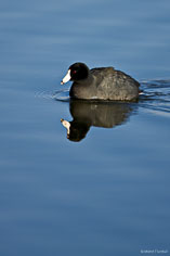 An american coot swims along in the calm morning water at the Monte Vista National Wildlife Refuge in southern Colorado.