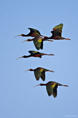 A flock of white-faced Ibis in the morning sky at the Monte Vista National Wildlife Refuge in southern Colorado.