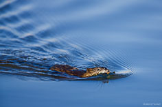 A muskrat swims with vegetation early in the morning at the Monte Vista National Wildlife Refuge in southern Colorado.