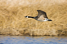 A canada goose flies low over the water at the Monte Vista National Wildlife Refuge in southern Colorado.