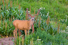 A young buck with velvet antlers pauses among the wildflowers outside of Crested Butte, C0lorado.