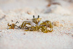 A ghost crab stares back at the lens while hunting for food on the beach at Junks Hole Bay in Anguilla, BWI.
