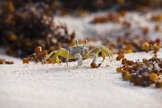 A ghost crab searches for food on the beach at Junks Hole Bay in Anguilla, BWI.