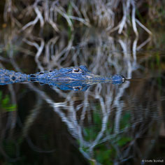 An alligator glides along in the shadows in a canal along Turner River Road in the Big Cypress National Preserve, Florida.